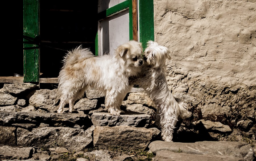 Dog Day Afternoon by Nitin Upadhyaya - Animals - Dogs Playing ( love, life, dogs, winter, culture, , Innocence, Love, Life, People )