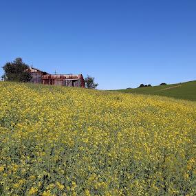 Mustard Flower by Arvind Mallya - Flowers Flowers in the Wild ( spring time, california, usa, mustard flowers,  )