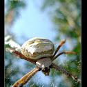 A Spider 2