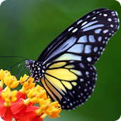 Nice Butterfly Live Wallpaper