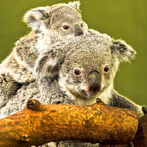 2015-03-06 - koala-1.jpg