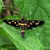 Erebidae, Arctiinae, Syntomini,
