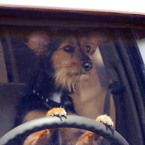by Krys George - Animals - Dogs Portraits ( watching, driving, dog portrait )