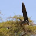 (Juvenile) Black-crowned Night Heron