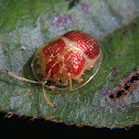 Red and gold tortoise beetle