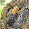 Flannel Moth (larval)