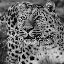 Purrfect by Garry Chisholm - Black & White Animals ( garry chisholm, predator, cat, carnivore, nature, black and white, wildlife, leopard )