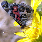 American Painted Lady (2)
