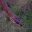 Keelback or Freshwater Snake