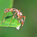 Red Ant Mimicking Spider(Male)