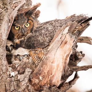 Great Horned Owl 3.jpg