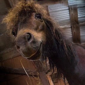Yup by Gerard Toney - Animals Horses ( mare, miniature horse, barn, horse, animal )