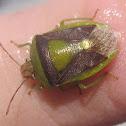 Golden-Backed Stinkbug