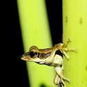 Dark-eared tree frog