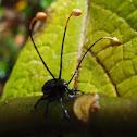 Cordyceps fungus on dead weevil