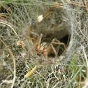 Hobo (funnel) spider