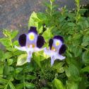 Purple Wishbone