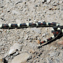 False Coral Snake?