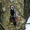 The Great Spotted Woodpecker