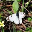 Western Dappled White; Blanquiverdosa moteada