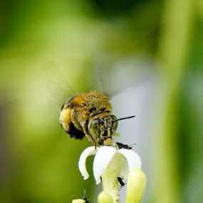 bee by Arief Wijayanto - Animals Other
