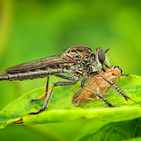Breakfast by Assaifi Fajarmass - Animals Insects & Spiders ( up close, macro photography, insects, robberfly )