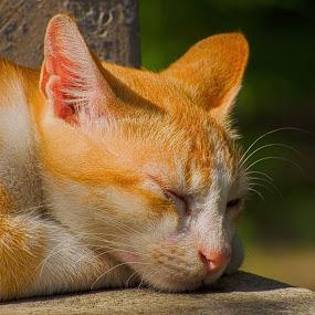 Lazy noon by Pritam Saha - Animals - Cats Portraits ( cat, animal, #GARYFONGPETS, #SHOWUSYOURPETS,  )