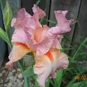 Autumn Riesling TB Iris