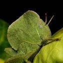 hooded grasshopper