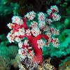 Cherry Blossom Coral