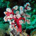 Philippine Coral Survey