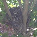 Robin (egg & nest)