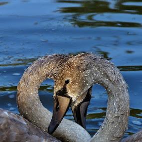 Swans II by Zoran Rudec - Animals Birds ( swans )