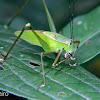 Green leaf katydid