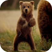 Cute Bear Video Live Wallpaper