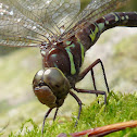Shadow Darner, female ovipositing