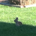 The Eastern Cottontail