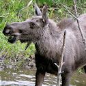 Shirasi Moose