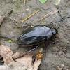 Aquatic beetle