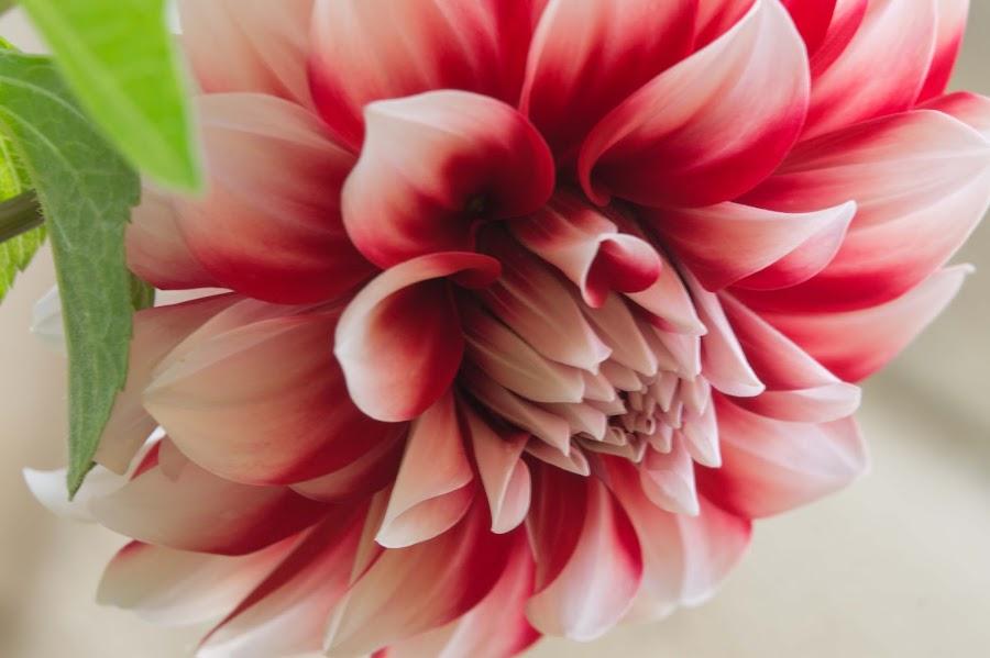 Red and white  by Johanna Van Niekerk - Novices Only Flowers & Plants ( red, red flower, flowers, garden, flower, garden flower,  )