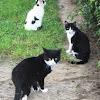 Gato o gato doméstico (Felis silvestris catus)