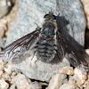 fly grey fuzzy and black striped