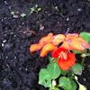 Orange Impatiens