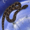 Russel's viper