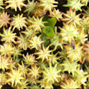 Umbrella liverwort