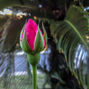 Rose Bud by Iqbal Ahmed - Flowers Flower Buds ( rose, nature, tree, rose bud, flower )