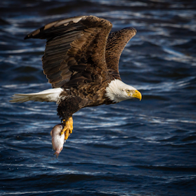 Bringing Home Dinner by Mike Trahan - Animals Birds ( flight, nature, bald eagle, mississippi )