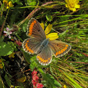 Southern Brown Argus