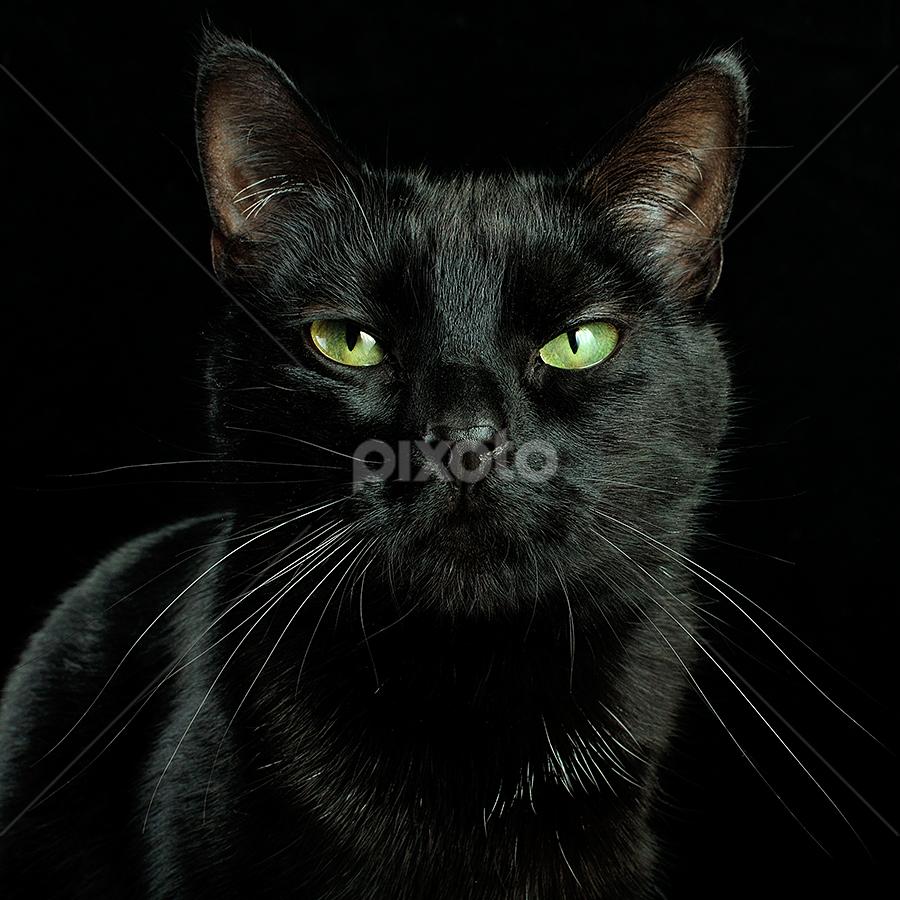 black cat by SyAsem ... - Animals - Cats Portraits ( cat, close up, portrait, black, animal )
