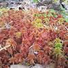 Red Sphagnum Moss